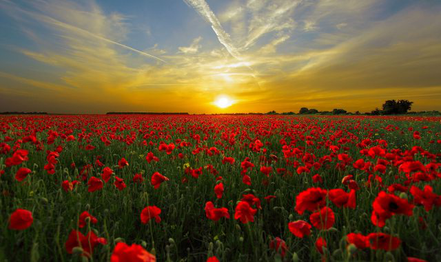 A field of poppies in the foreground and a sunset in the background.